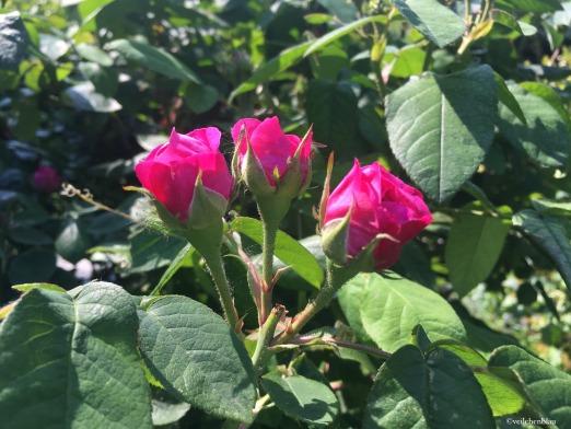 Fang den Duft des Sommers ein: Mit Rosenblüten-Sirup